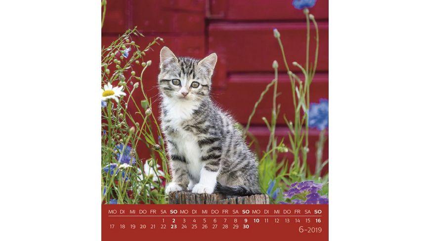 Schmusekatzen 2019 Postkartenkalender