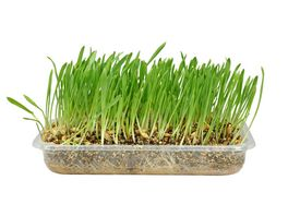 Karlie Katzengras herba