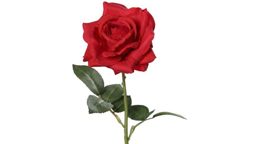 Rose rot, 68 cm