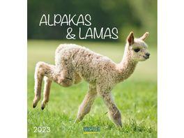 KORSCH Postkartenkalender Alpakas 2021 16x17cm